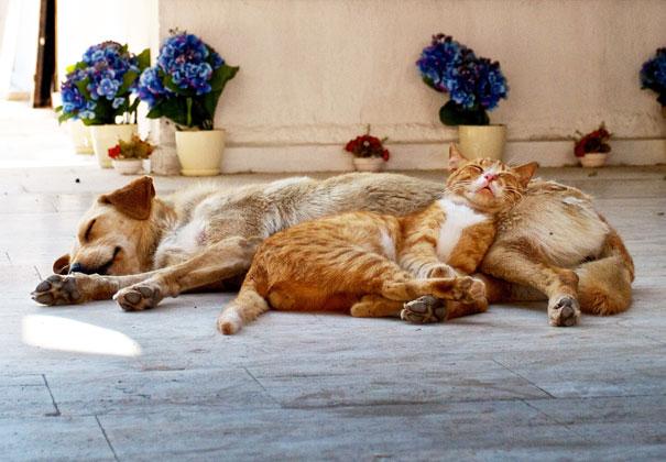 golden durmiendo con gato