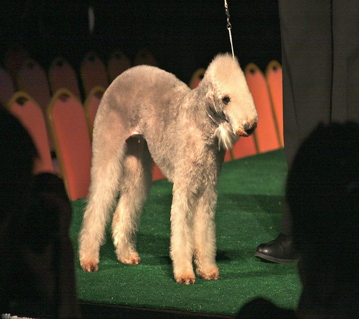 Bedlington Terrier pelo