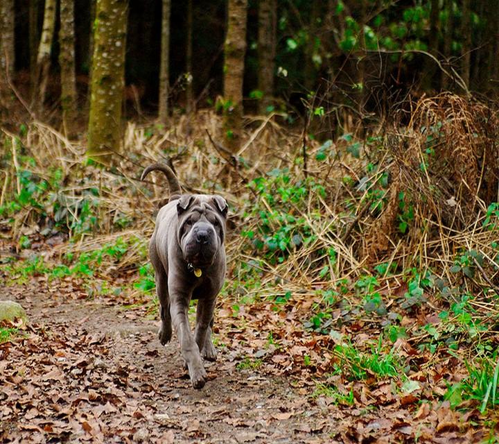 Shar-Pei pelo bosque