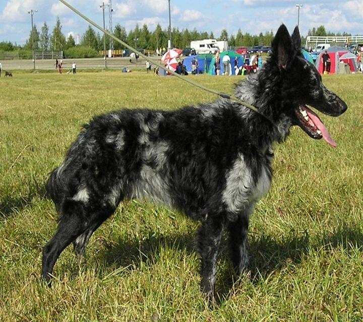 perro mudi pelo