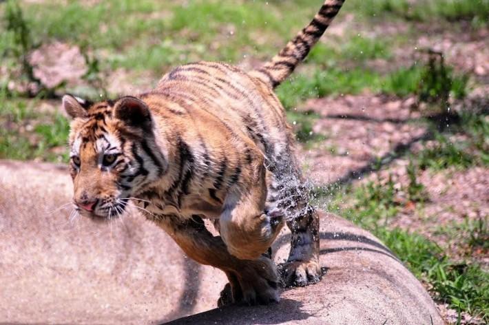 tigresa bengala recuperada