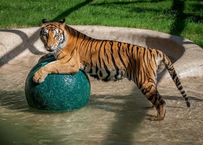 tigresa bengala sana