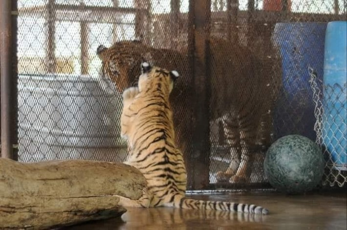 tigres bengala