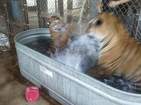 tigres bengala jugando