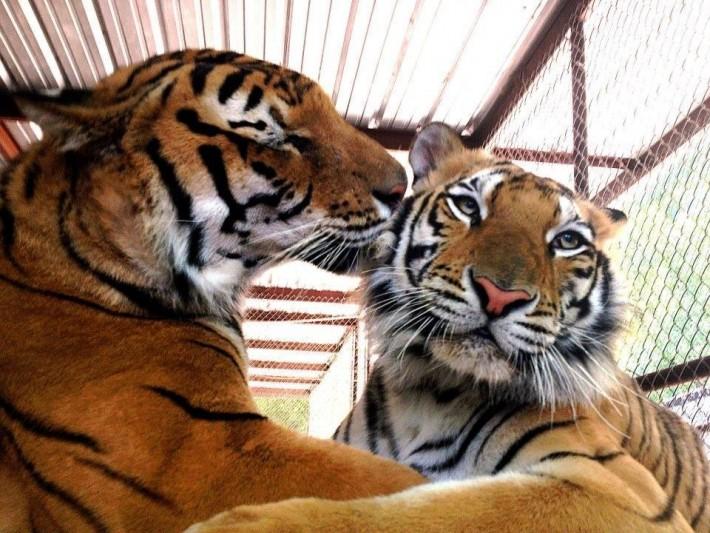 tigres bengala jugando amor
