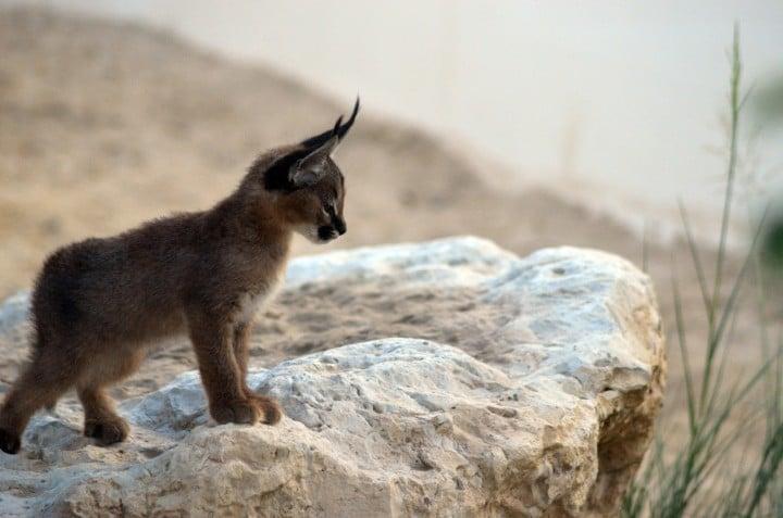 caracal bebe