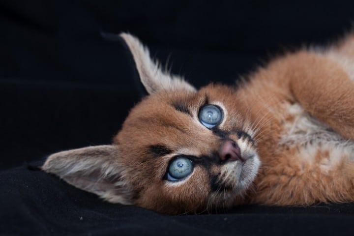 caracal gato