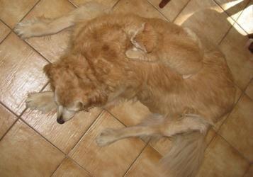 gato escondido lomo perro