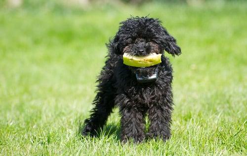 perro comiendo sandia