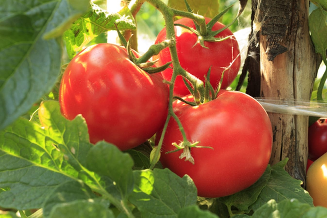 plantas tomates alimentos perros