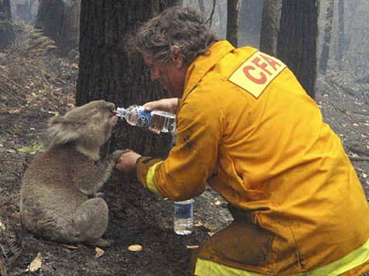 bombero rescate koala