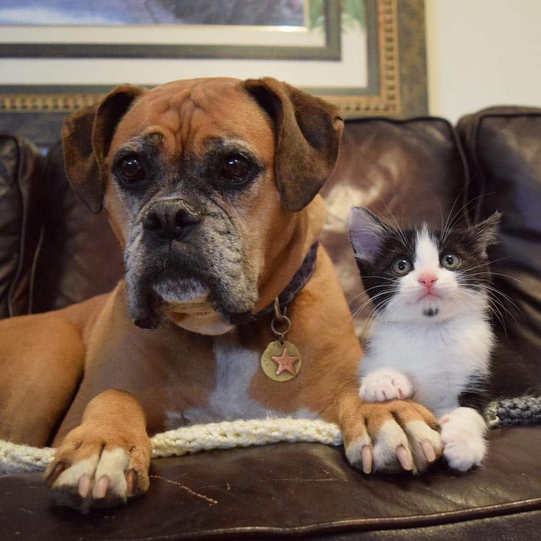 boxer con gatito