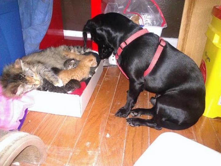 perro adopta gatitos huerfanos