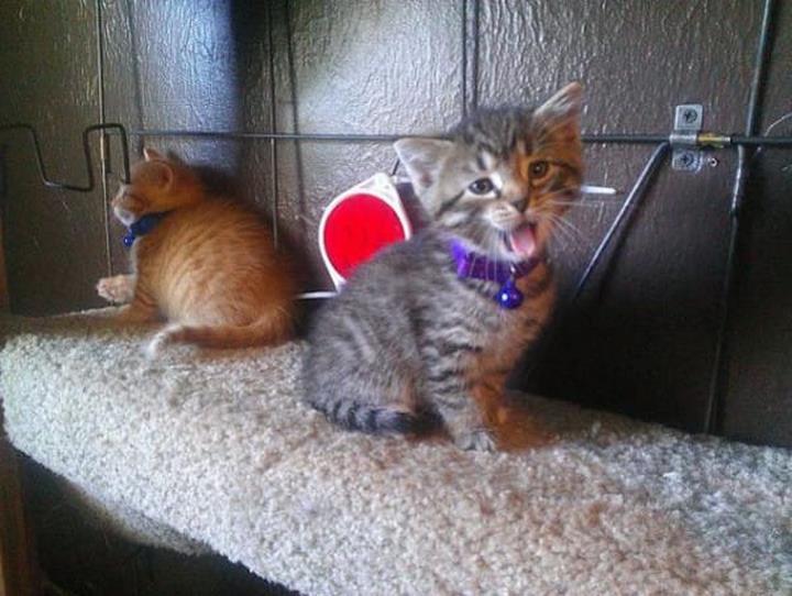 gatitos maullando