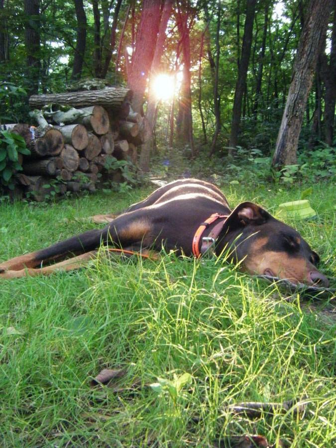 doberman durmiendo en el campo