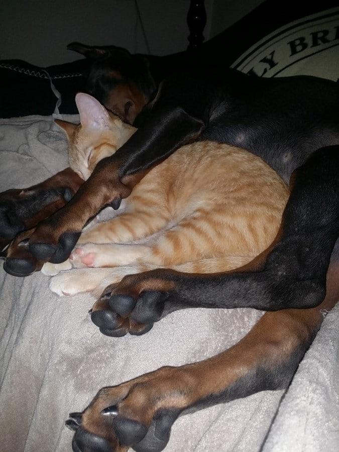 doberman durmiendo con gato