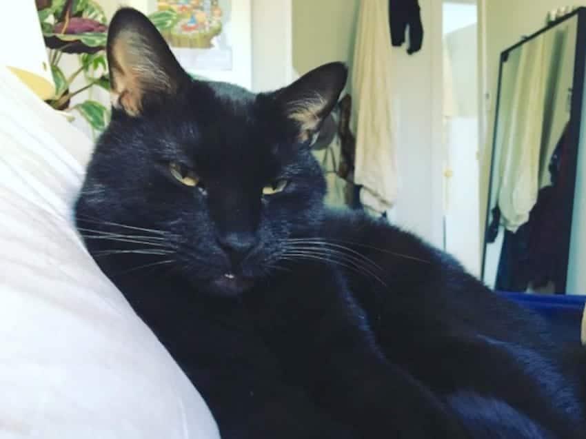 gato negro ronroneando