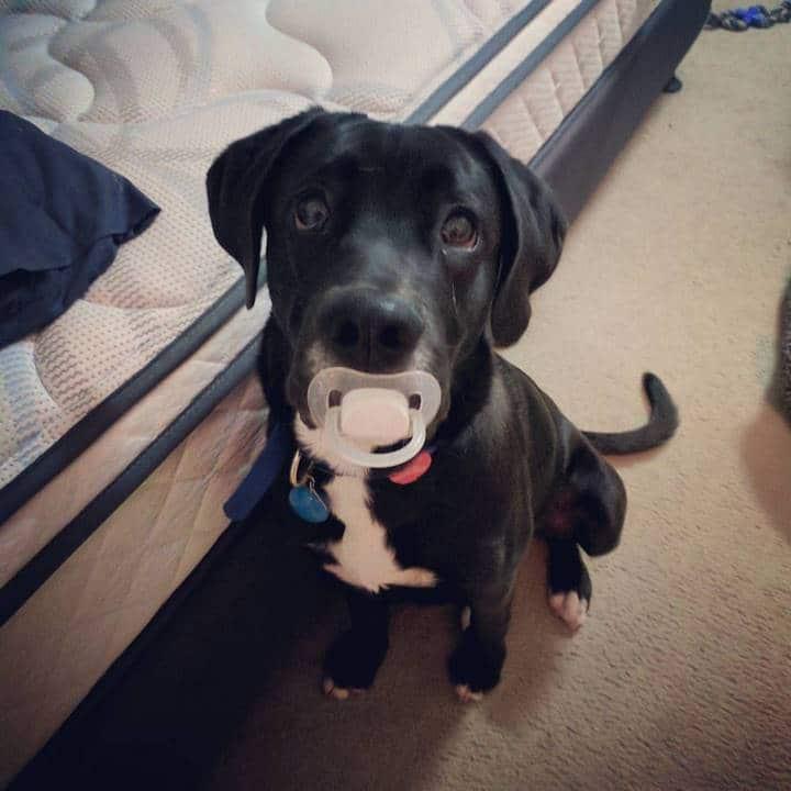 perro con chupo