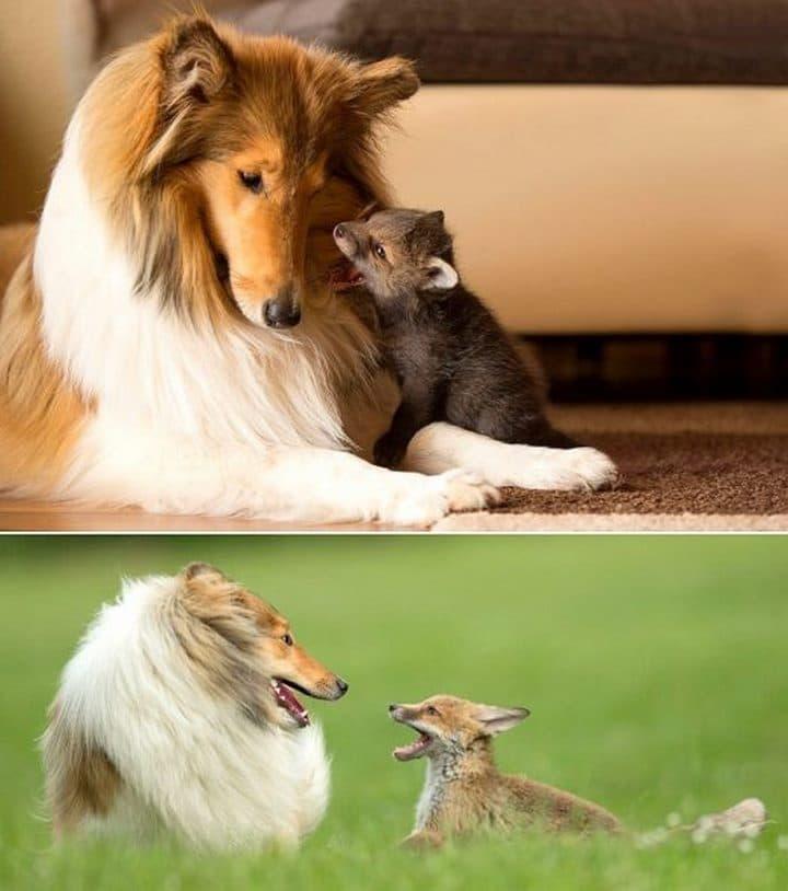 sheltie con zorro bebe