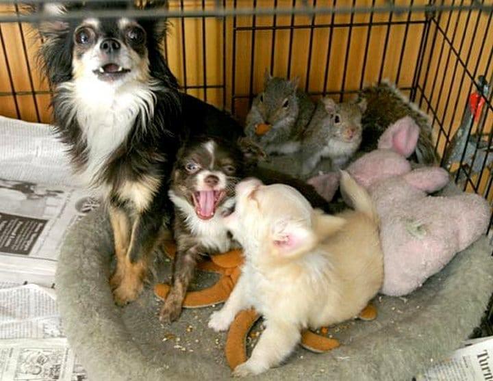 perra adopta ardillas bebes