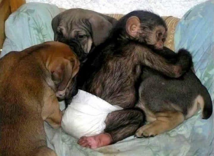 perro cuidando de monos bebes