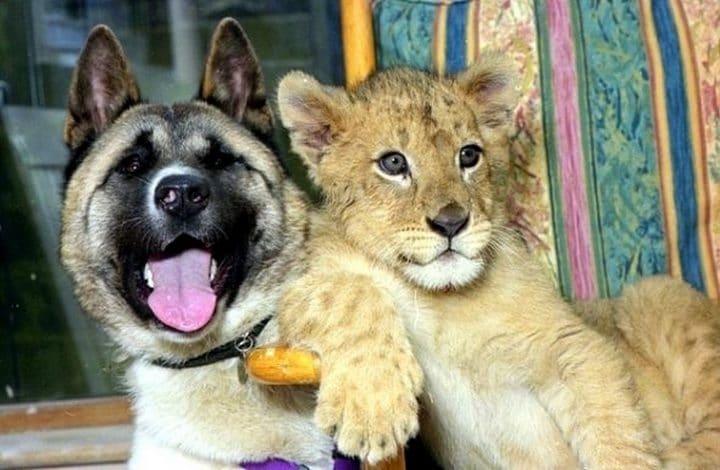 akita inu con tigre bebe