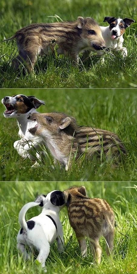 perro jabali bebe
