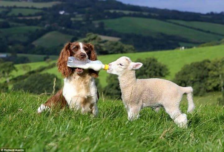 perro dando biberon oveja