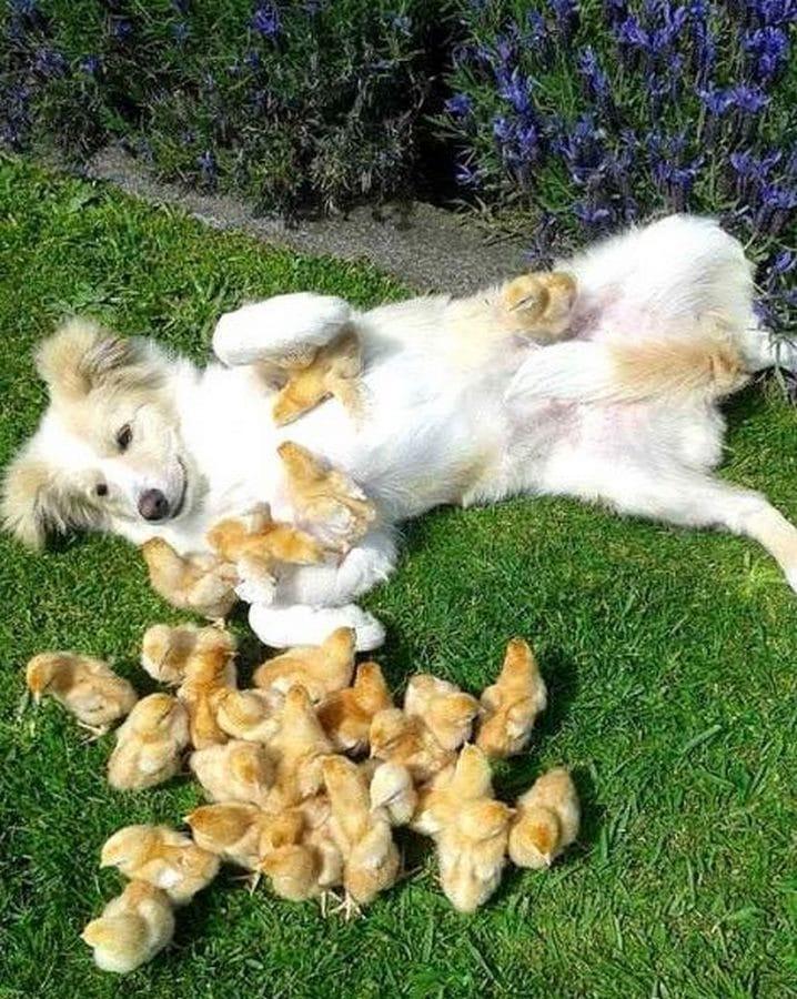 perro papa de una camada de patitos