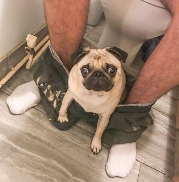 pug dueño baño