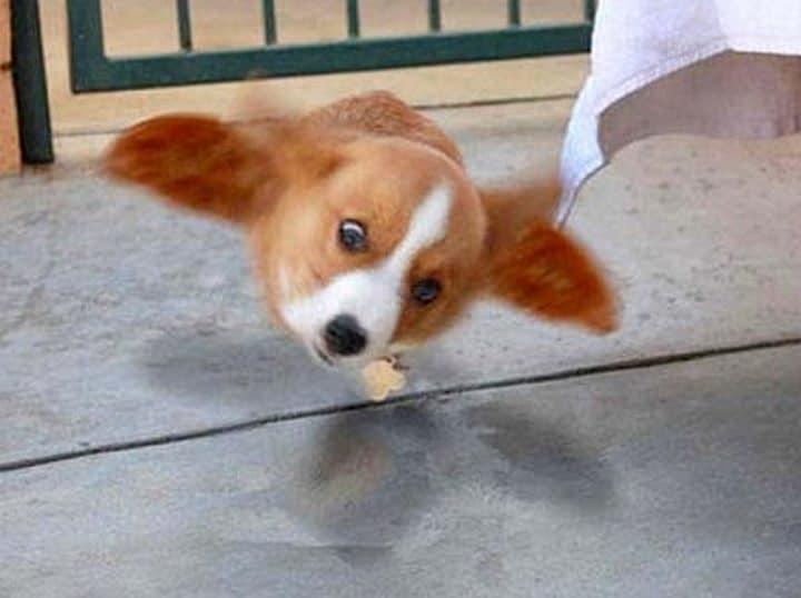 cachorro volador