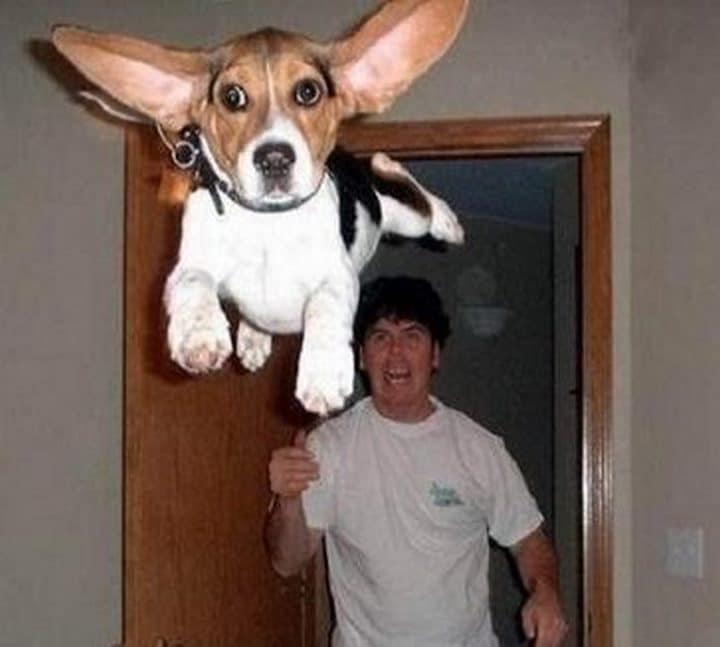 perro dumbo