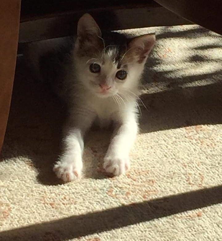 gato calico macho tesoro