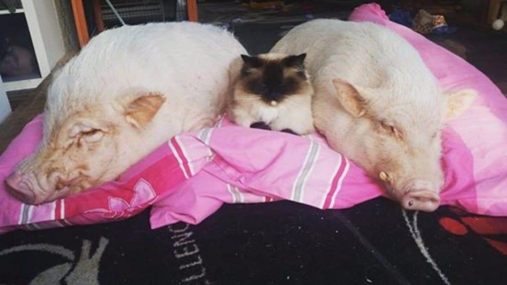gato durmiendo sobre cerdito