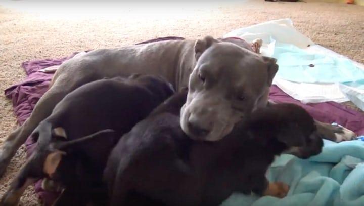 pibull con sus cachorros