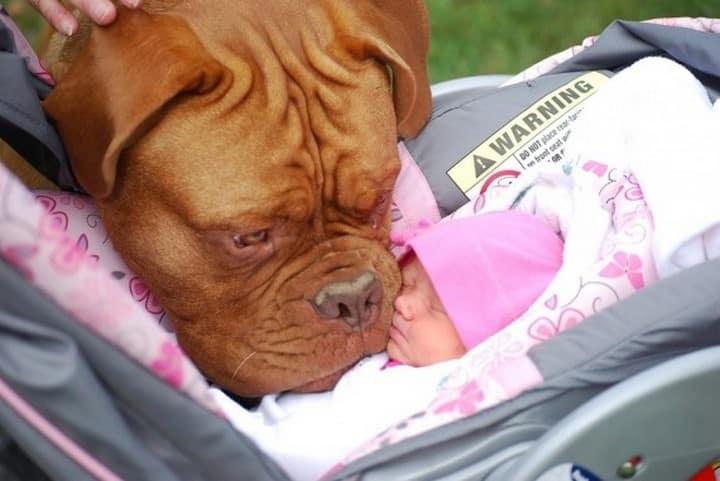 pitbull bebe