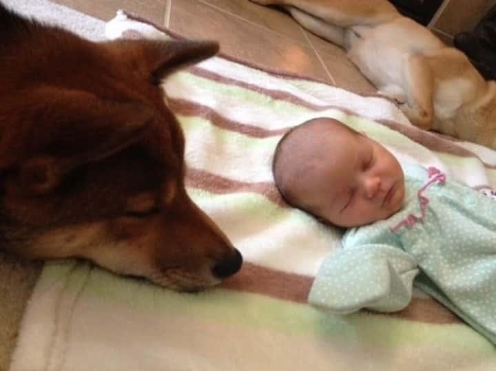 shiba vigilando bebe