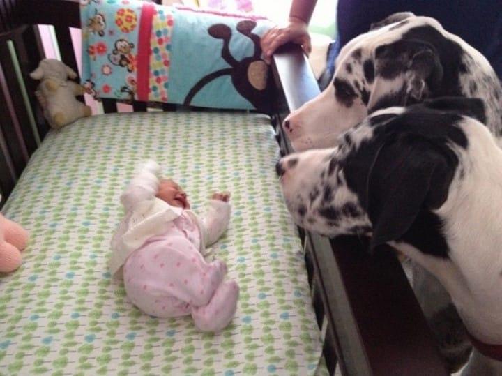 perro gigante junto a bebe diminuto
