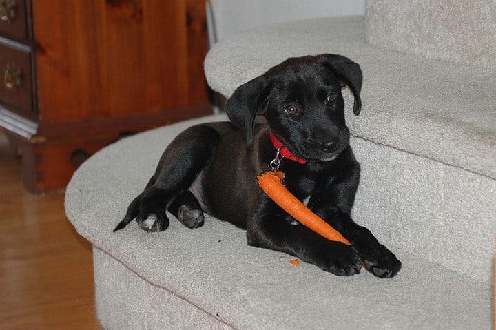perro y zanahoria