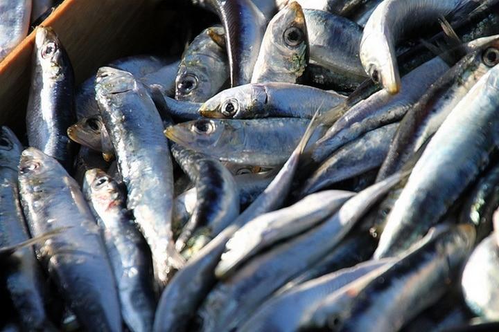 sardinas para perros