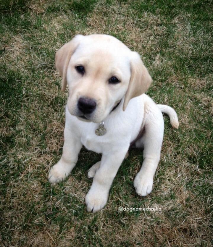cachorro blanco de labrador