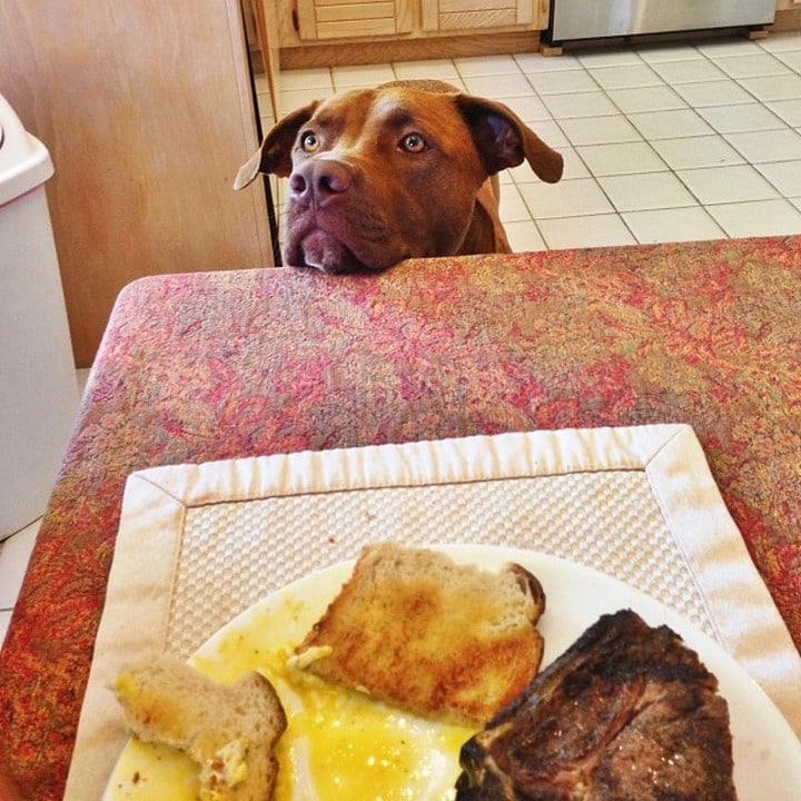 pitbull pidiendo el desayuno