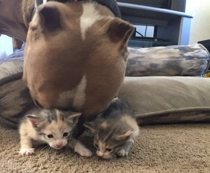 pitbull lamiendo gatitos