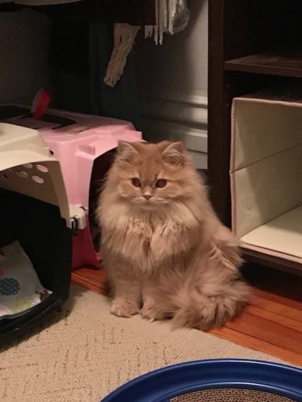 gato siberiano pelirrojo