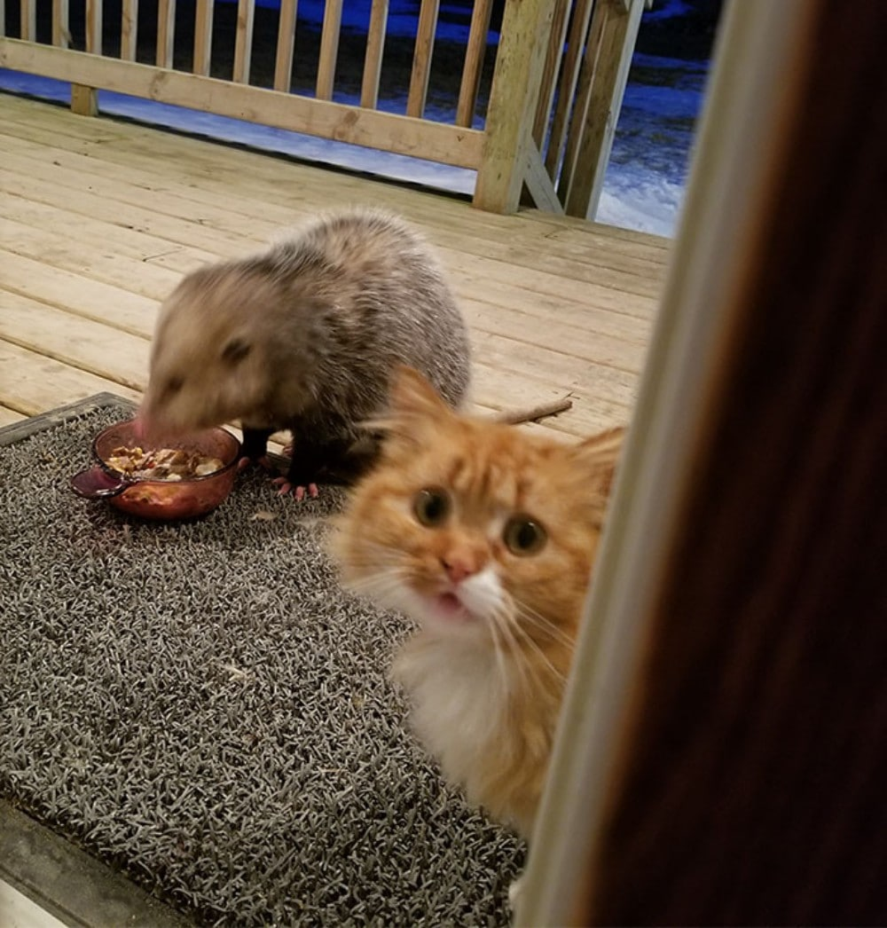gato descubre zarigüeya comiendo