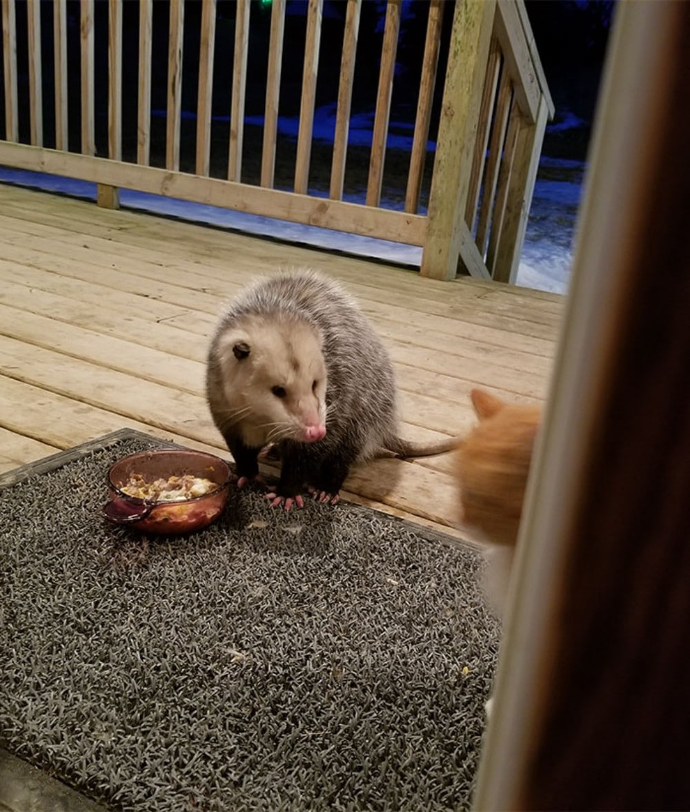 zarigüeya zampa comida gato delante