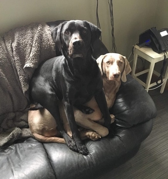 perro negro perro canela sofa