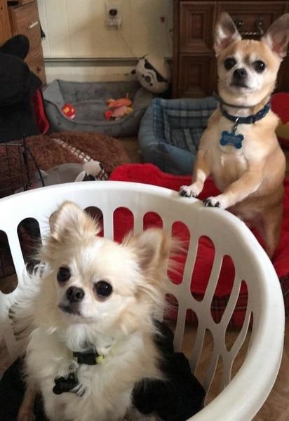perros haciendo la colada