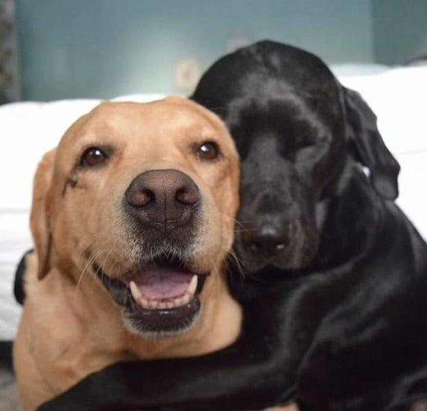 perro negro y perro canela amor