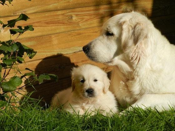 mamma-cane-con-cucciolo-di-golden-retriever